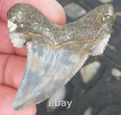 Scarce Color Fossil auriculatus Shark Tooth Sharks Teeth Megalodon Great White