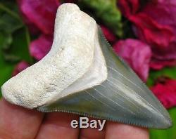 Spectacular Bone Valley Megalodon Tooth Florida fossil Shark teeth gem MEG