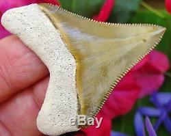 Stellar Bone Valley Chubutensis Fossil Shark Tooth Florida teeth not Megalodon