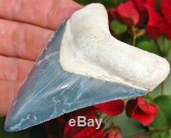 Superior Bone Valley Florida Fossil Megalodon Shark Tooth teeth gem