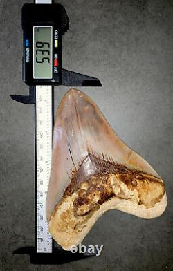 Ultra High Quality 5.39 Indonesian MEGALODON Shark Tooth Fossil