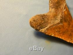 Very Nice Brown Marbled 5 1/2 Inch Megalodon Shark Tooth Fossil
