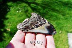 Wooden Antique Looking Megalodon Fossil Shark Tooth